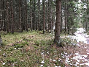 Så här ser det ut den 30 januari i skogen där 25manna 2017 kommer att gå.